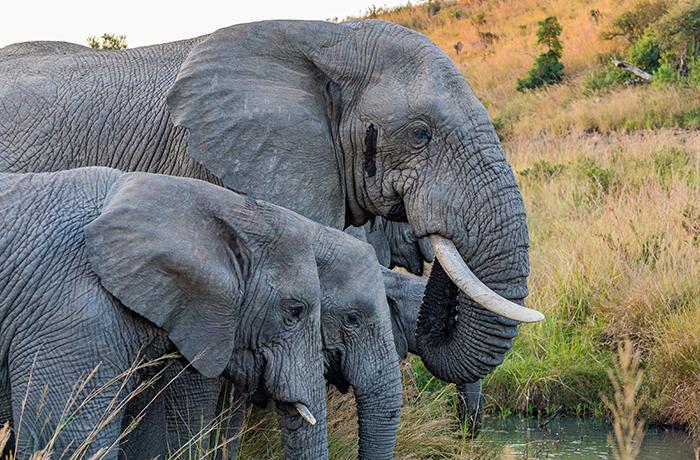 ¡Ayuda a los elefantes! Consulta pública sobre las nuevas medidas de la UE para prohibir el comercio de marfil