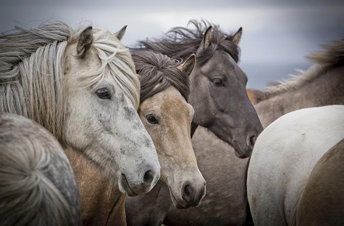 Miles de caballos abandonados vagan por los desiertos de EEUU
