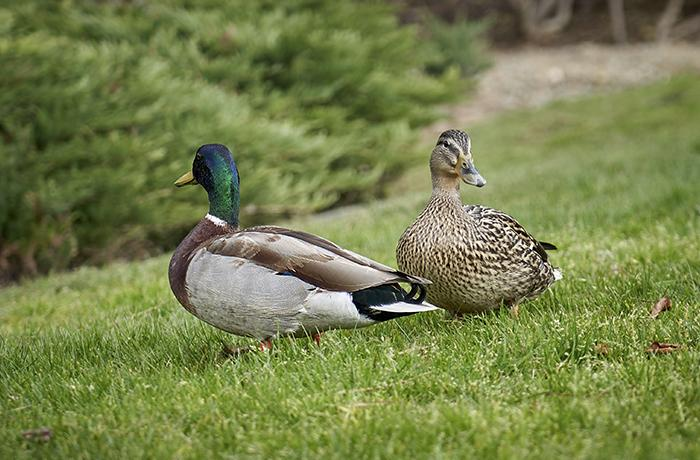 El Ayuntamiento de l'Escala permite de nuevo la vulneración de la ley con una suelta de patos