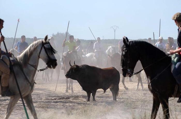 Joan Herrera pregunta al gobierno si prohibirá la fiesta del toro de Tordesillas