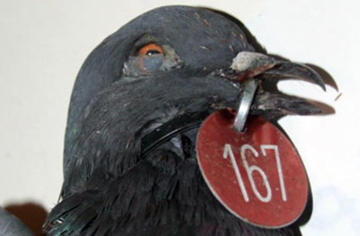 Aparecen palomas agonizando por error del Ayuntamiento de Barcelona