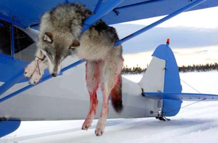 Sarah Palin promueve la matanza de lobos desde avionetas