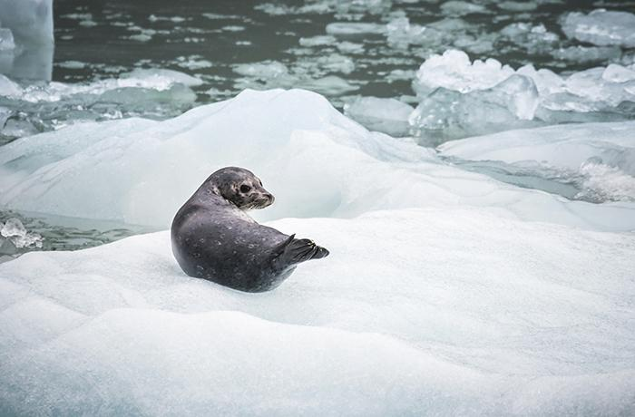 Rusia prohíbe la caza de bebés foca