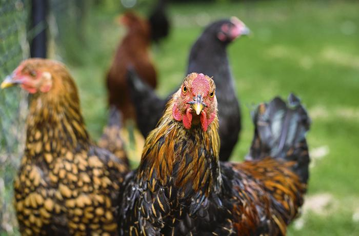 Diez detenidos por organizar peleas de gallos clandestinas en una finca de Girona