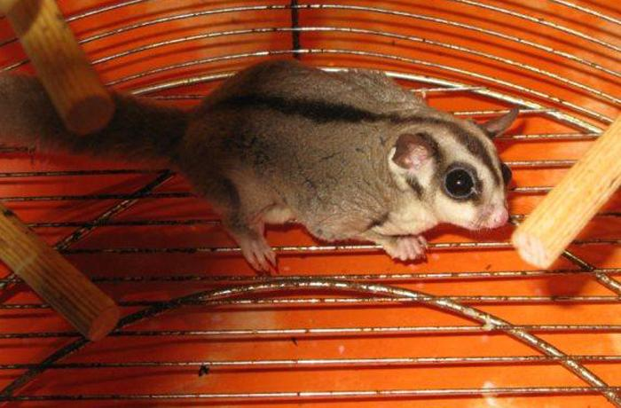 Petauro de azúcar: nueva moda en maltrato animal