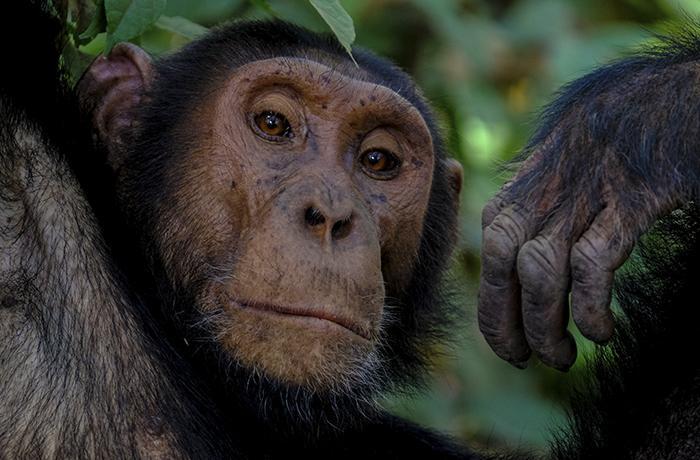 Carta de protesta a los Mossos d'Esquadra por la muerte de un chimpancé