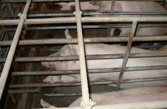 Pig Business, la pelicula que expone el precio real de la carne barata