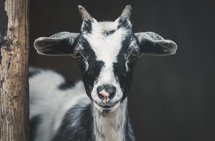 Ayuda urgente: 30 cabras necesitan ser adoptadas