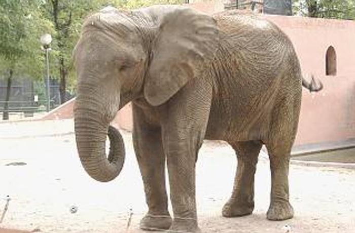 El Zoo Botánico de Jerez traslada su elefanta a un Zoológico de Hungría donde se incorporará a una manada