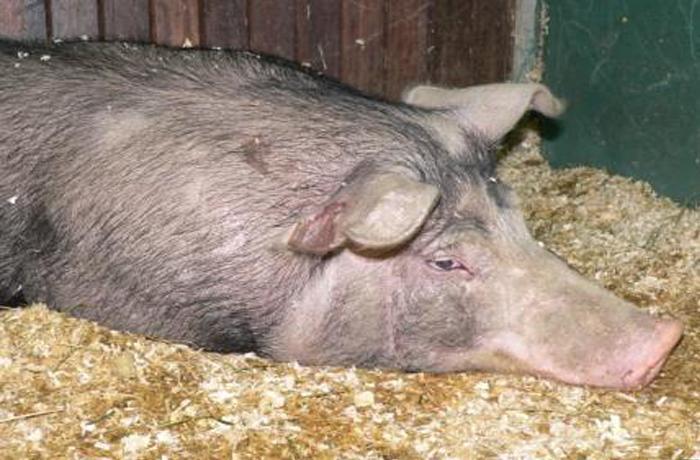 Rescate de un cerdo en la Ronda de Barcelona