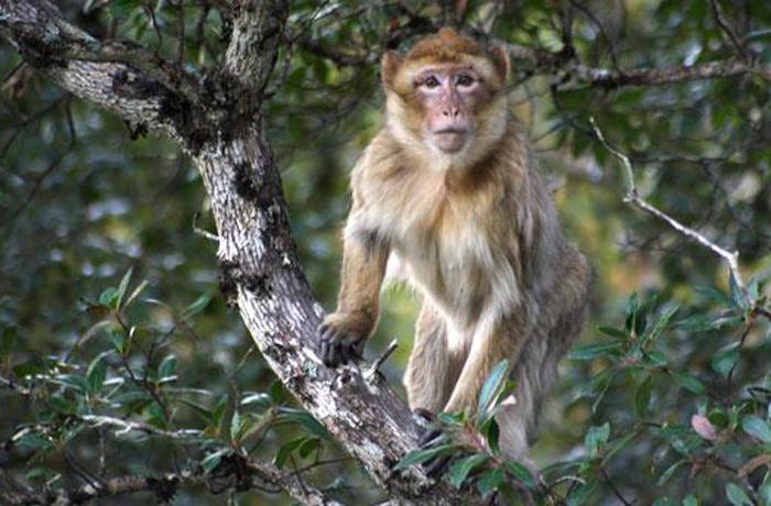 El Macaco de Berbería podría desaparecer en estado salvaje