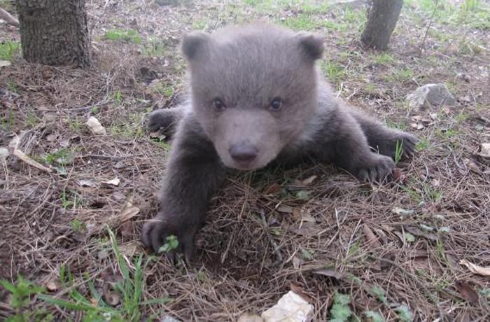 """Rescate de Bruno: un oso cuyo destino iba a ser una vida de explotación como """"estrella"""" publicitaria"""
