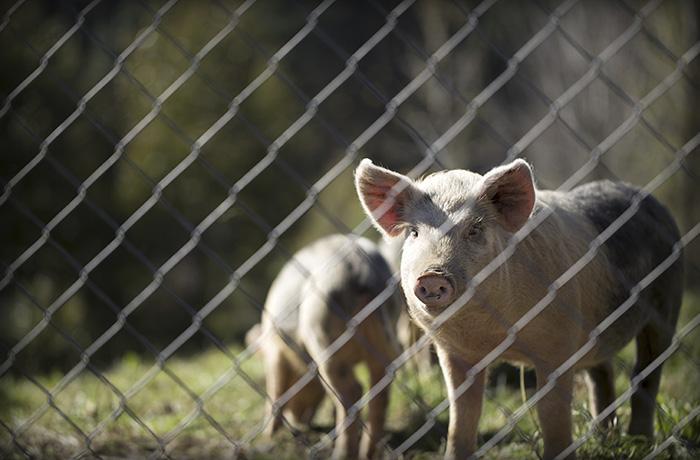 Cae en picado la matanza del cerdo