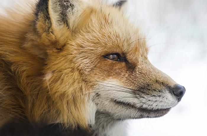No a la caza: boicot a la caza del zorro en Galicia y protesta en Barcelona