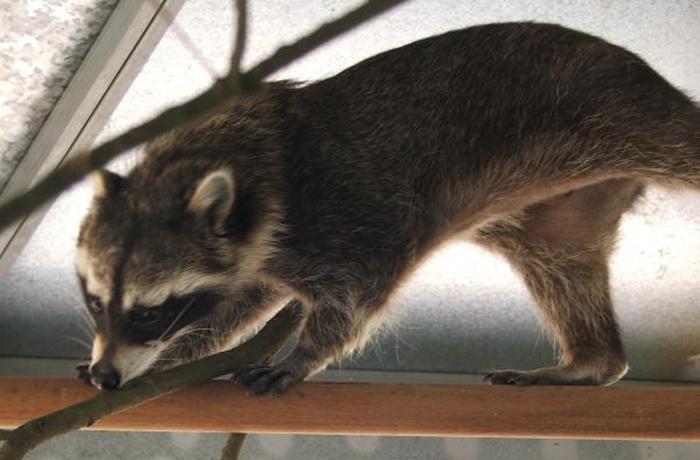 Rehabilitación y reubicación de cinco mamíferos salvajes abandonados