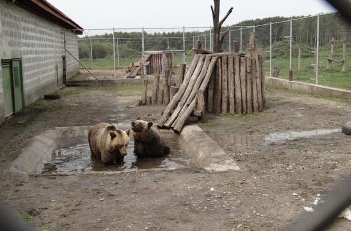 Laika y Mel, las dos osas de Vallcalent, trasladadas a Hungría