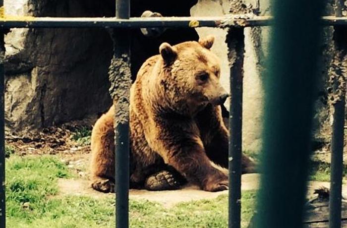 Mimo y Aran, los dos osos de Arties siguen esperando su liberación