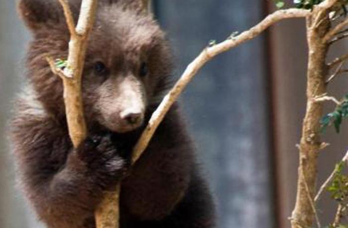 Goluso, la cría de oso que nació por sorpresa en Lacuniacha, trasladada a Bélgica