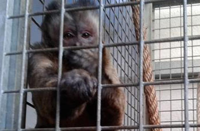 Monkey se va a Holanda para vivir con otros monos capuchinos por primera vez