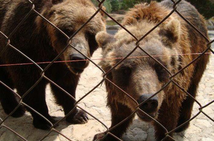 FAADA consigue reubicar los últimos animales de Aqualeon: 12 leones y 4 osos pardos