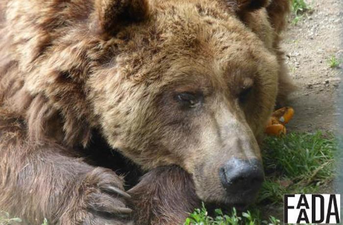 El Ayuntamiento de Arties y el gobierno de Arán siguen negándose al traslado de los osos Mimo y Arán