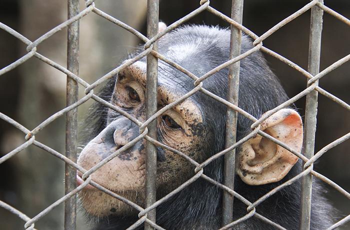 Estados Unidos prohibe la experimentación de chimpancés para uso médico