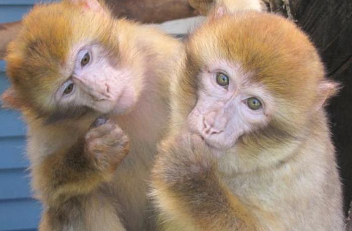 Día Mundial del macaco de Berbería, una especie en peligro de extinción