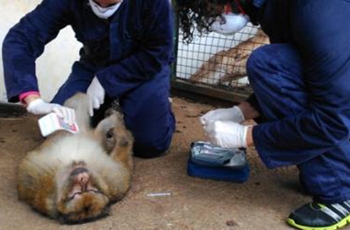Desidia que cuesta una vida: muere un macaco decomisado hace 10 años esperando ser trasladado