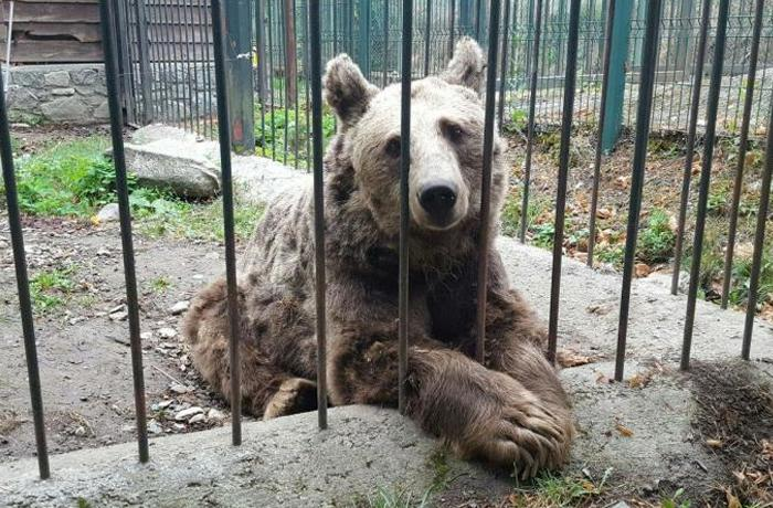 Los osos de Arties ya están de camino hacia un santuario de Hungría