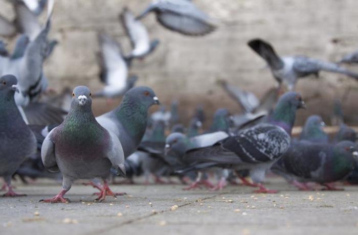 Un estudio demuestra que las palomas son capaces de reconocer entre 26 y 58 palabras