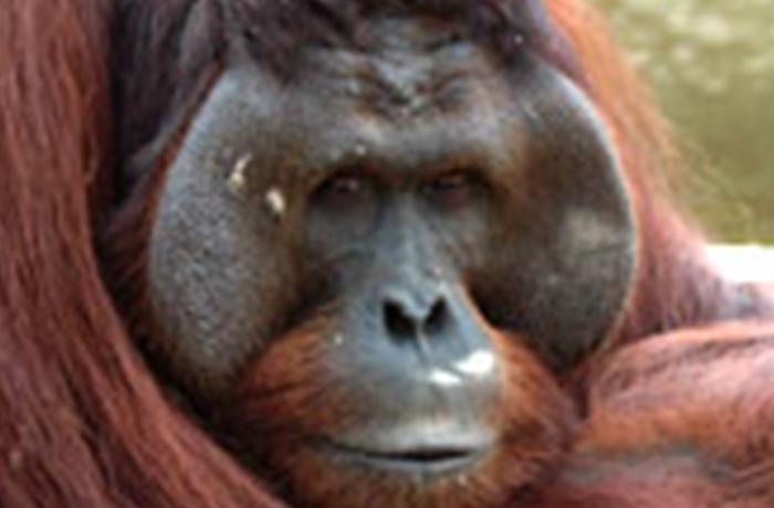 España participa activamente en la protección de los grandes simios africanos