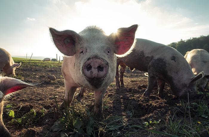 La subida del pienso amenaza a 1.000 granjas de porcino
