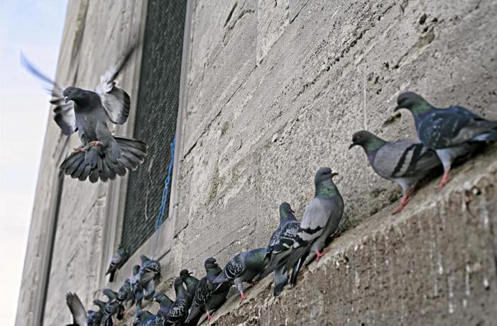Barcelona inicia el control ético de palomas