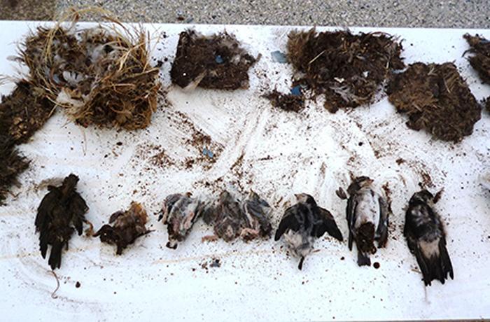 Sancionada una empresa de pinturas con 3.237€ por destruir nidos de avión común y provocar la muerte de 10 polluelos