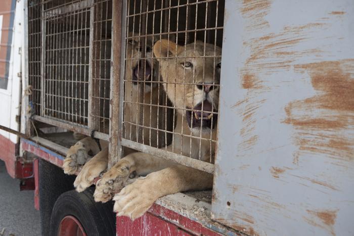 Histórica entrega de animales salvajes procedentes de un circo español
