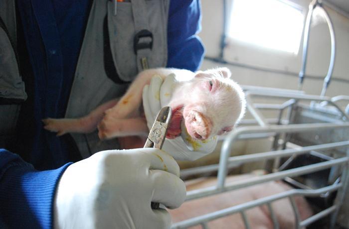 Firma para acabar con la cruel mutilación de los lechones en Europa