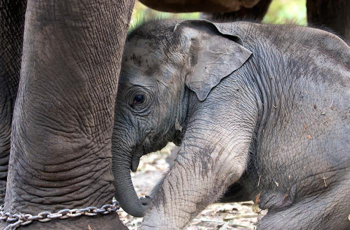 Los elefantes asiáticos están en peligro de extinción