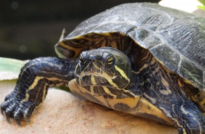 Gestionamos nuevos casos de tortugas abandonadas en Barcelona