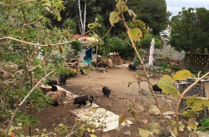 Llamamiento urgente para encontrar adoptantes para 37 cerdos vietnamitas
