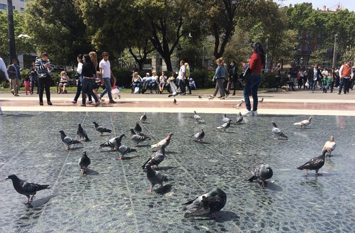 Decepción por el exterminio de 950 palomas capturadas en Plaça Catalunya