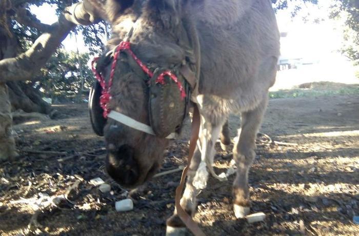 Últimas noticias sobre el caso del burro de Mataró