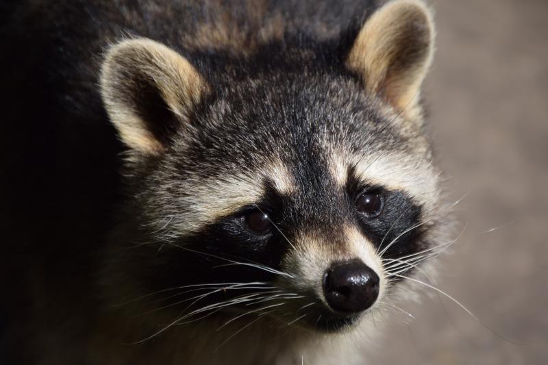 Gestionamos la reubicación de un mapache que vivía en un piso de Barcelona