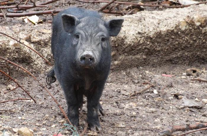 Los cerdos vietnamitas de Cunit ya están esterilizados y buscan hogar