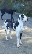 Ayton ( se entrega en adopción preferente con su  compañer Shena)