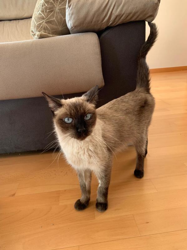 AGATA, otra gata mimosa abandonada en la calle