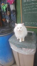 POMPON magestuoso gato de año y medio