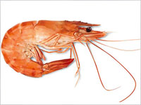 Salud esencial piscifactorias peces transg nicos criados for Crianza de camarones