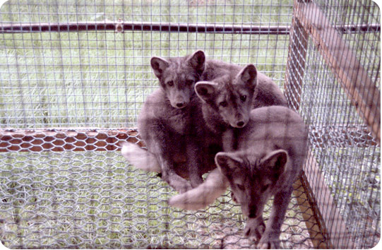 Chinchilla Fur Farm A typical fur farm consists of