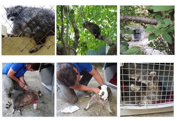 Rescatamos a un mapache atrapado en un patio en Mollet