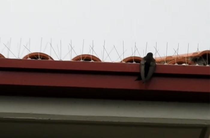 Exigimos que se retiren de un edificio los pinchos que impiden la entrada de vencejos